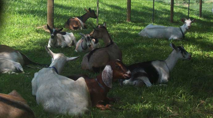 Goats sitting in goat paddock.
